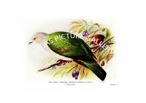 Fine art Print of the Pigeon, the Green Imperial
